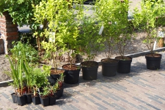 Samen met Euonymus, agastache en andere planten