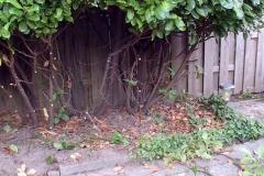 De prunussen hebben we opgeknipt om meer licht en ruimte in de tuin te krijgen.