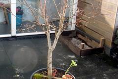 Deze Acer palmatum geven we een nieuwe plek