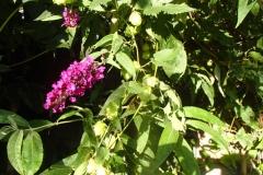 Buddleja in tweede bloei